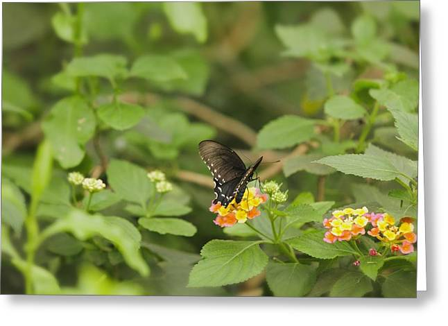 Spicebush Swallowtail Butterfly On Lantana Shrub Verbena Greeting Card by Marianne Campolongo