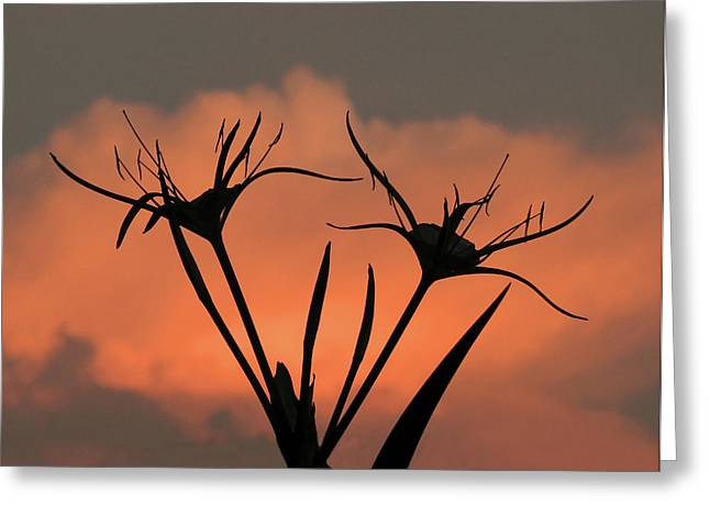 Spider Lilies At Sunset Greeting Card
