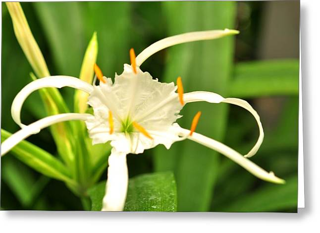 Greeting Card featuring the photograph Spider Lily  by Puzzles Shum