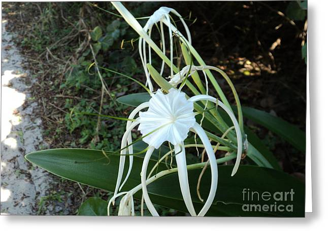 Spider Lily3 Greeting Card