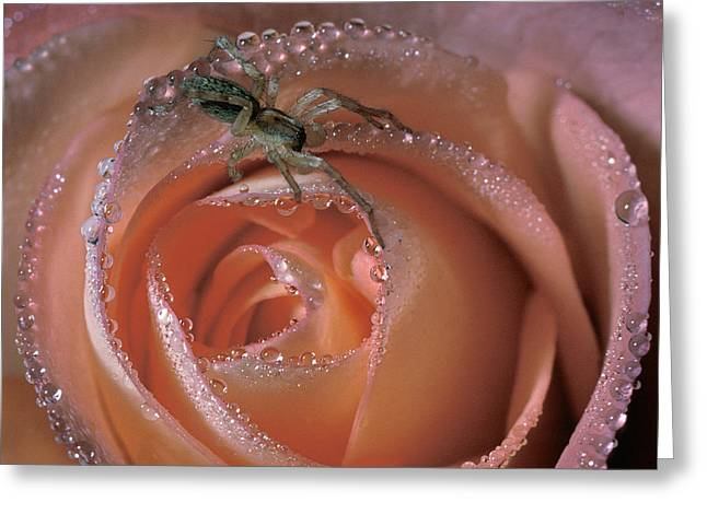 Spider On Rose Greeting Card