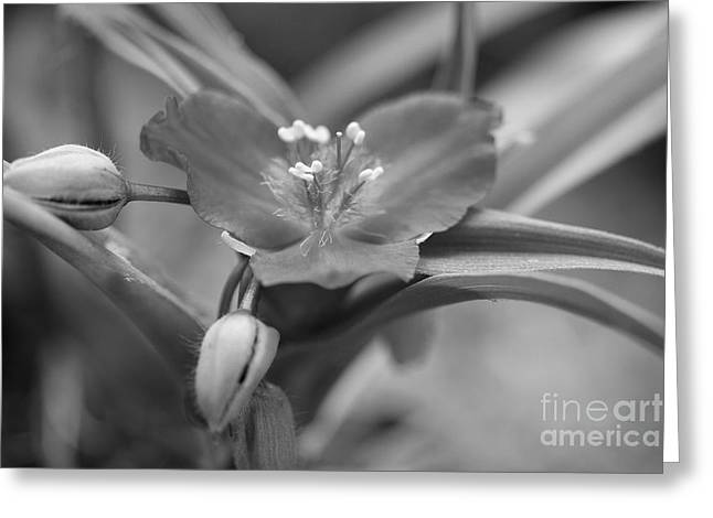 Spiderwort In Black Greeting Card by Brooke Roby
