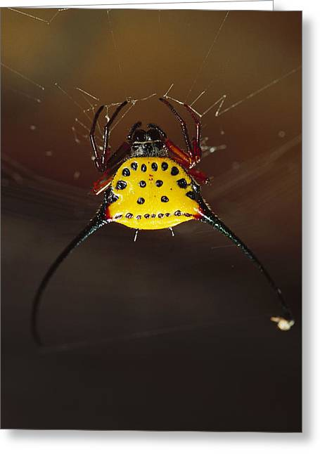 Spiked Spider Gasteracantha Sp In Web Greeting Card by Cyril Ruoso