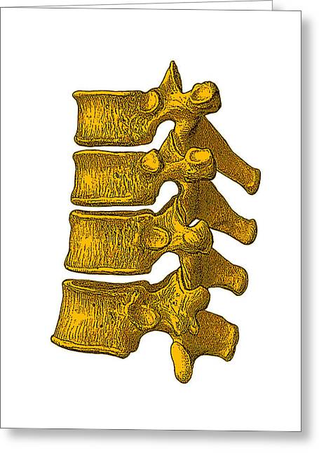 Spinal Vertebrae Greeting Card by Mehau Kulyk