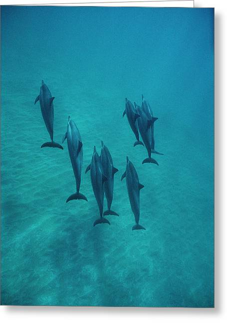 Spinner Dolphin Group Underwater Bahamas Greeting Card