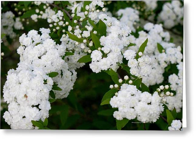Greeting Card featuring the photograph Spirea Blooms by Maria Urso