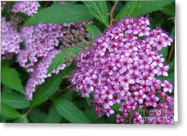 Spirea Greeting Card