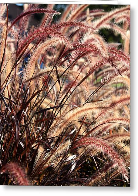 Splendor In The Purple Fountain Grass Photograph By Penny Hunt