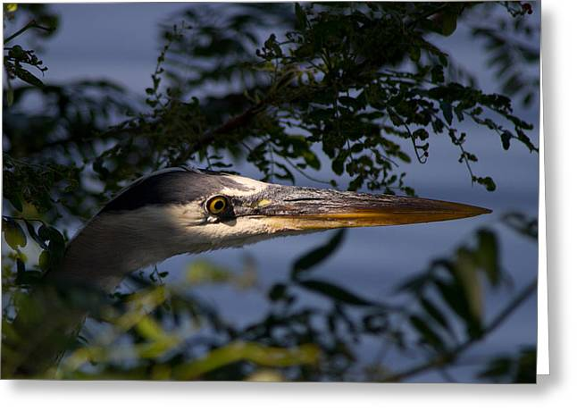 Spotlighted Blue Heron Greeting Card