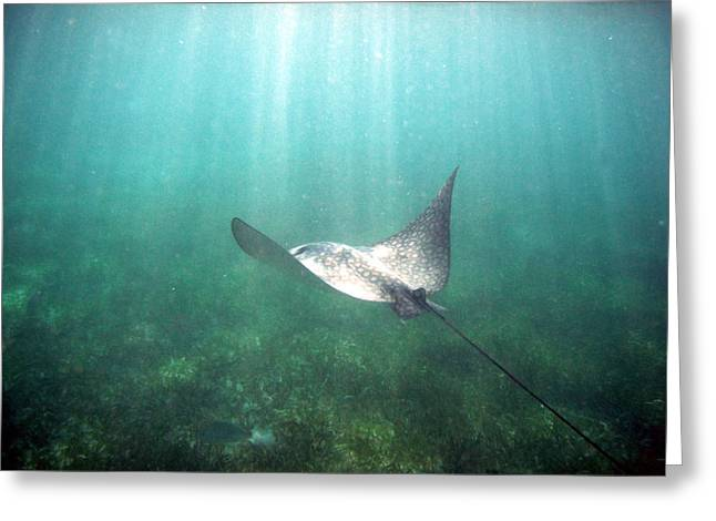 Spotted Eagle Ray Greeting Card by David Wohlfeil