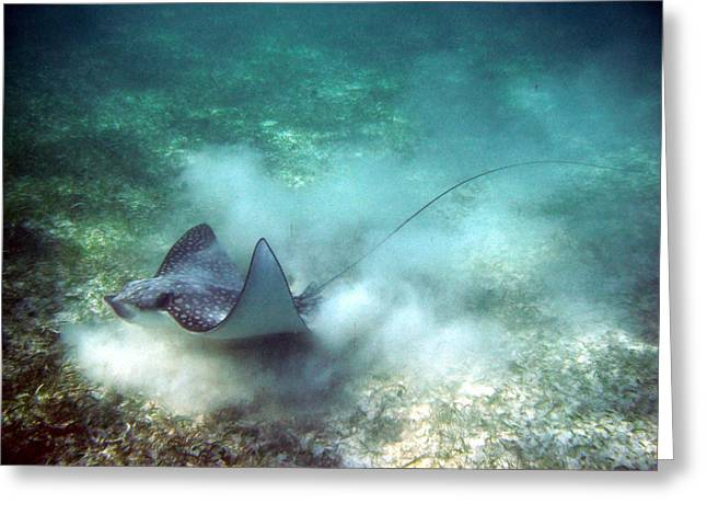 Spotted Eagle Ray Feeding Greeting Card
