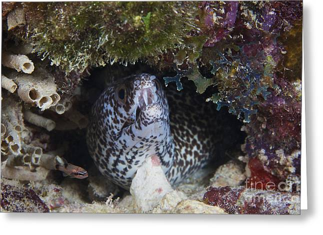 Spotted Moray Eel Peaks His Head Greeting Card by Terry Moore