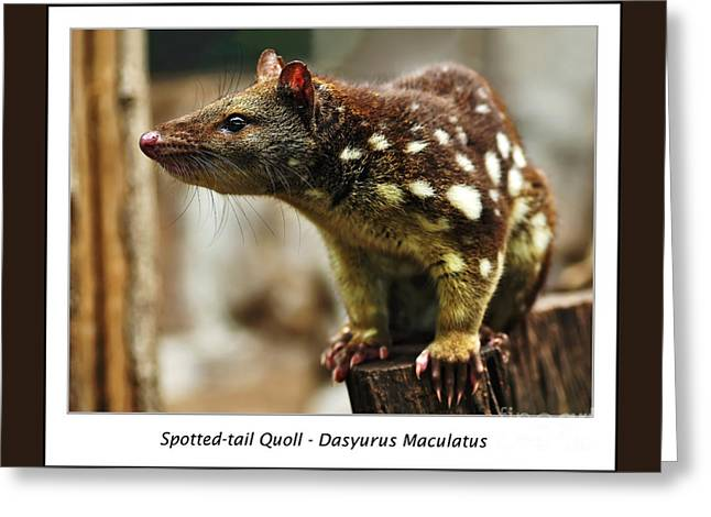 Spotted-tail Quoll Greeting Card by Kaye Menner