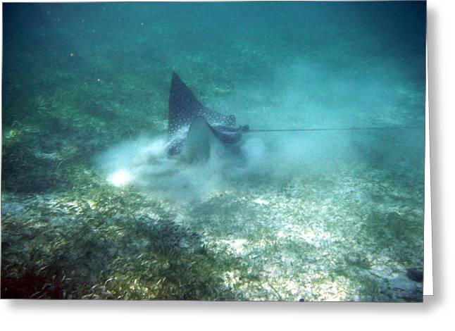 Sppoted Eagle Ray In The Feed Greeting Card by David Wohlfeil