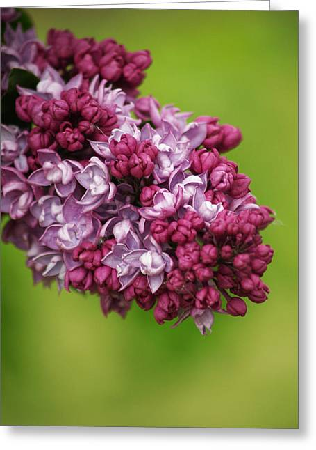 Spray Of Lilac II Greeting Card by Laine Zunte