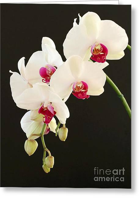 Spray Of White Orchids Greeting Card