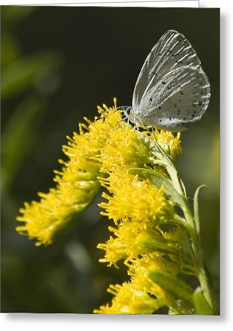 Spring Azure And Goldenrod Greeting Card