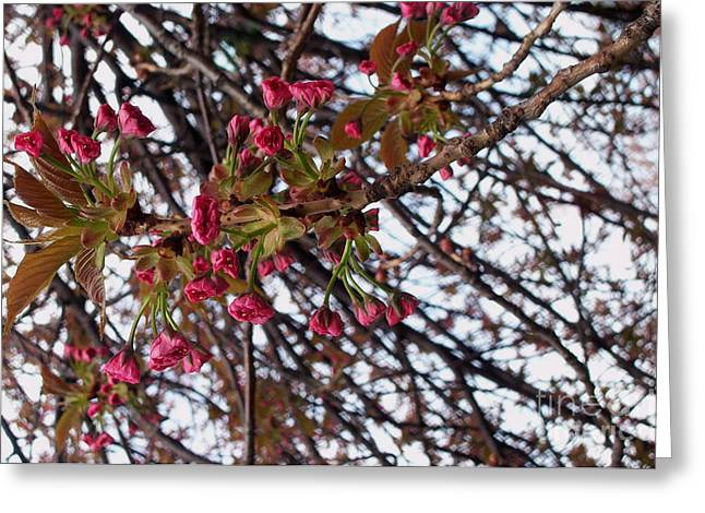 Spring Cherry Blossoms Greeting Card by Rayofra Ra