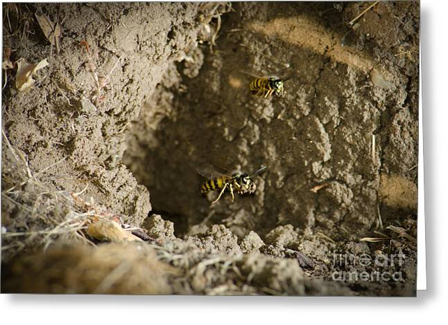 Spring Cleaning Pair Of Wasps Carrying Mud From A Yellow-jacket Wasps Nest Greeting Card by Andy Smy
