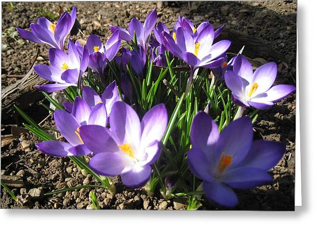 Greeting Card featuring the photograph Spring Crocus by AmaS Art