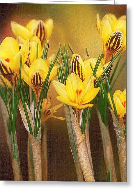 Spring Crocus Greeting Card by Anne Gordon