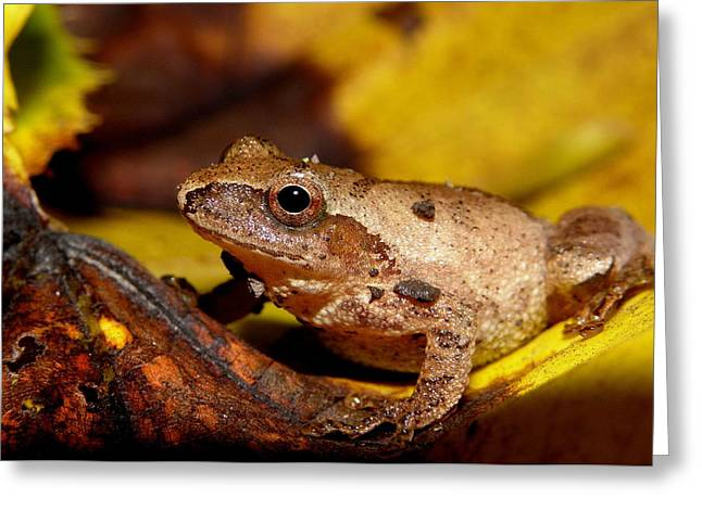 Spring Peeper On Fall Leaves Greeting Card by Griffin Harris