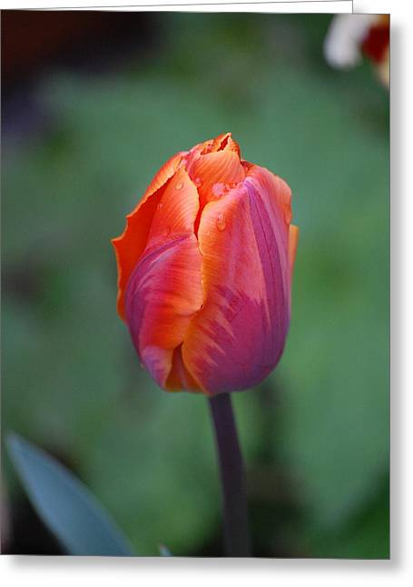 Spring Tulip Greeting Card by Dickon Thompson