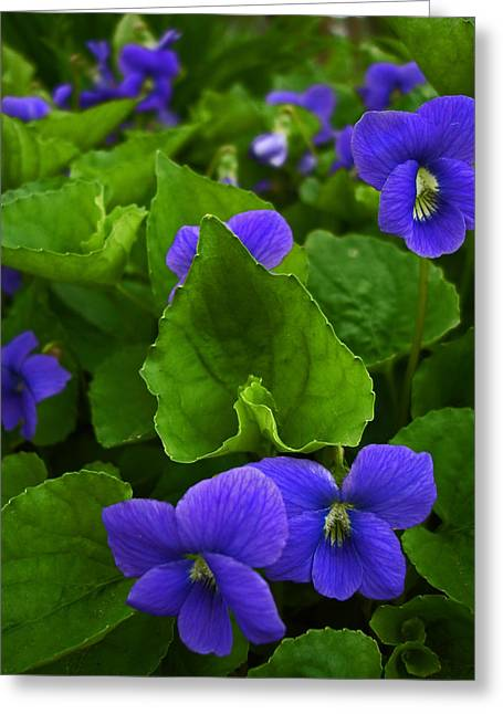 Spring Violets Greeting Card by Yvonne Scott