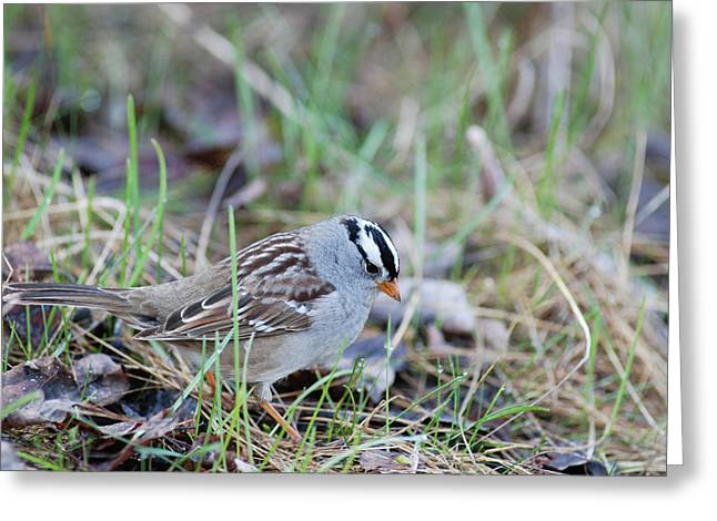 Couronne Greeting Cards - Spring White Crowned Sparrow Greeting Card by Jan Piet