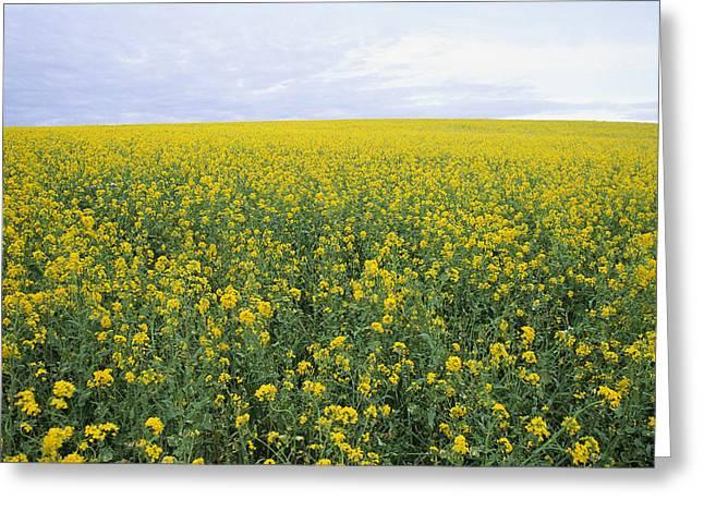 Springtime, Field Of Mustard Seed Greeting Card