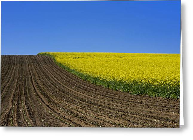 Sprouting Field Of Sunflowers And Field Of Rape. Auvergne. France. Europe Greeting Card by Bernard Jaubert