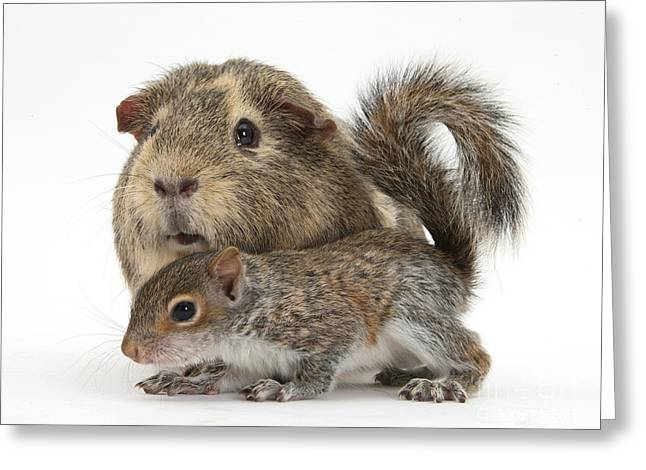 Squirrel And Guinea Pig Greeting Card