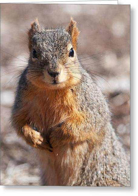 Squirrel Greeting Card by Art Whitton