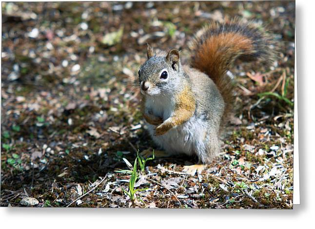 Greeting Card featuring the photograph Squirrel by Josef Pittner