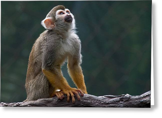 Squirrel Monkey Greeting Card by Cindy Haggerty