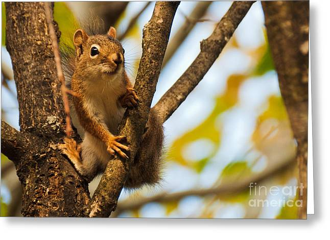 Greeting Card featuring the photograph Squirrel On High by Cheryl Baxter