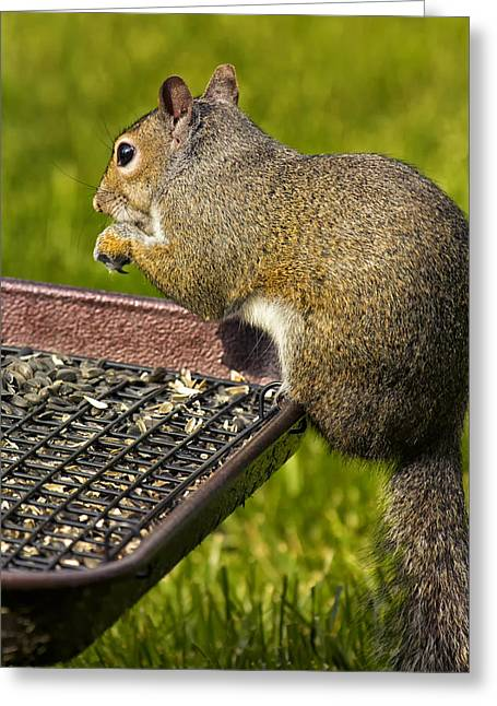 Squirrel On Seed Tray Greeting Card by Bill Tiepelman