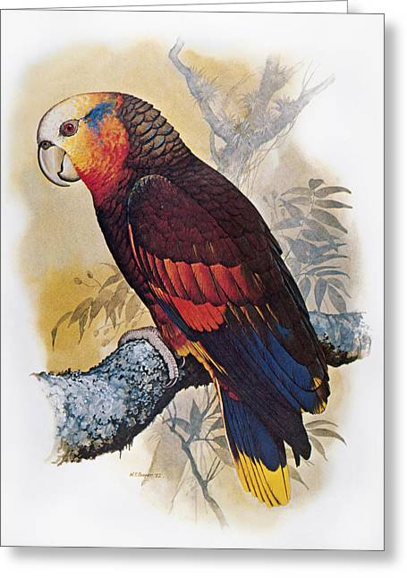 St Vincent Amazon Parrot Greeting Card by Granger