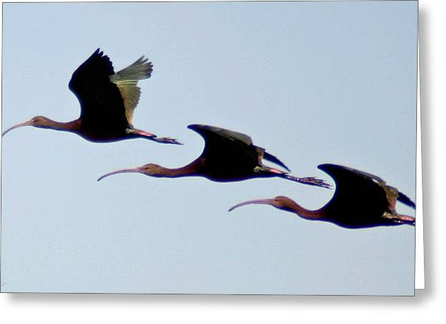Greeting Card featuring the photograph Stacked Ibis by Mitch Shindelbower