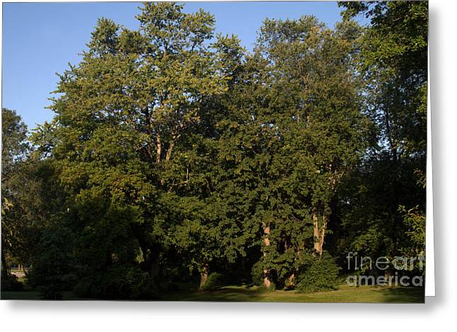 Stand Of Sugar Maple Trees Greeting Card