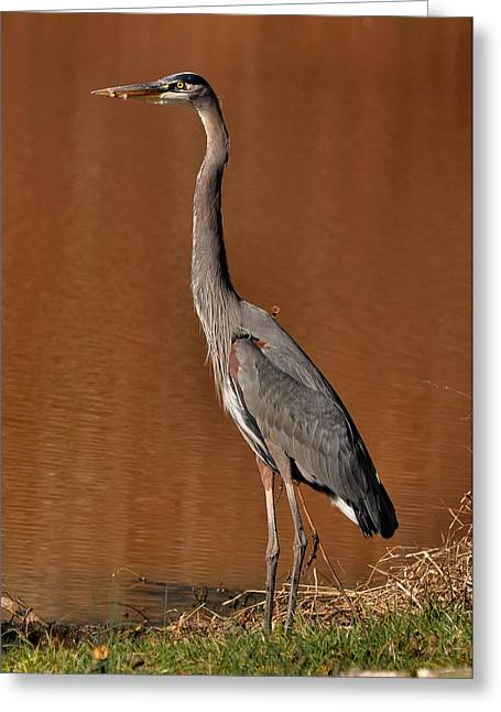 Standing Blue Heron - C0613a Greeting Card