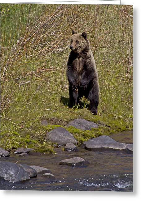 Greeting Card featuring the photograph Standing Grizzly by J L Woody Wooden