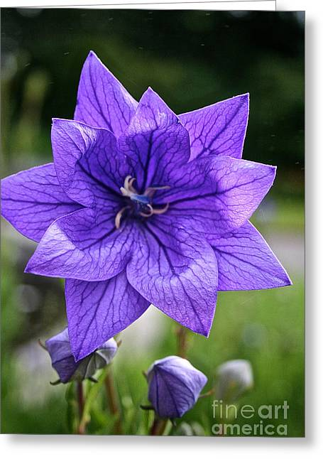 Star Balloon Flower Greeting Card by Susan Herber
