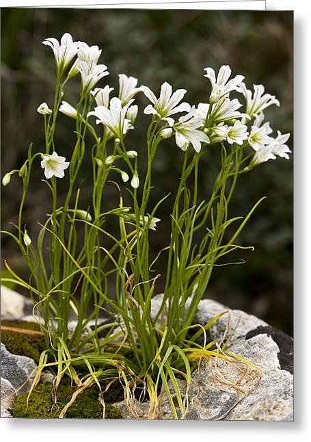 Star-of-bethlehem (gagea Graeca) Greeting Card by Bob Gibbons