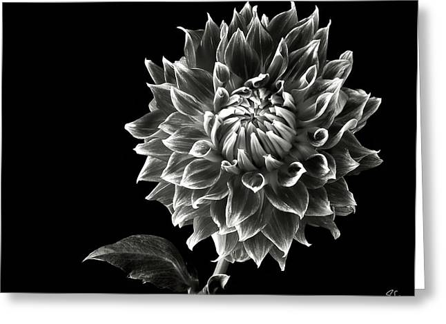 Greeting Card featuring the photograph Starburst Dahlia In Black And White by Endre Balogh