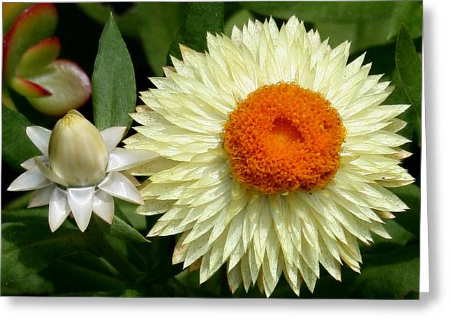 Greeting Card featuring the photograph Starburst by Karen Harrison