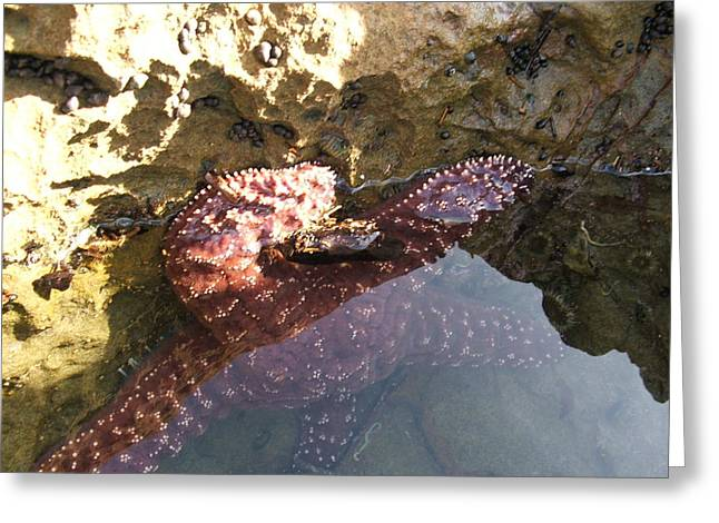 Starfish Ca Tidepools Greeting Card by Daniel Small