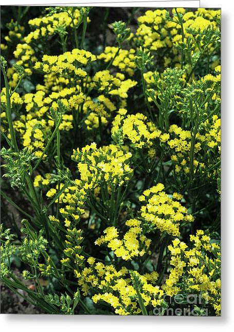 Statice Flowers Greeting Card