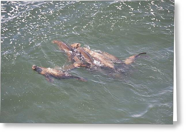 Steller Sea Lion - 0004 Greeting Card by S and S Photo