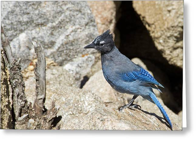 Stellers Jay Greeting Card by Angelina Vick